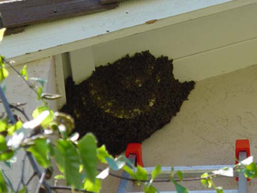 Bee Removal Culver City This is a 