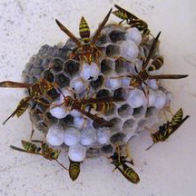 Wasp Removal West Los Angeles Ca Fast Local Wasp Removal